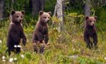 Brown Bear: the King of the taiga